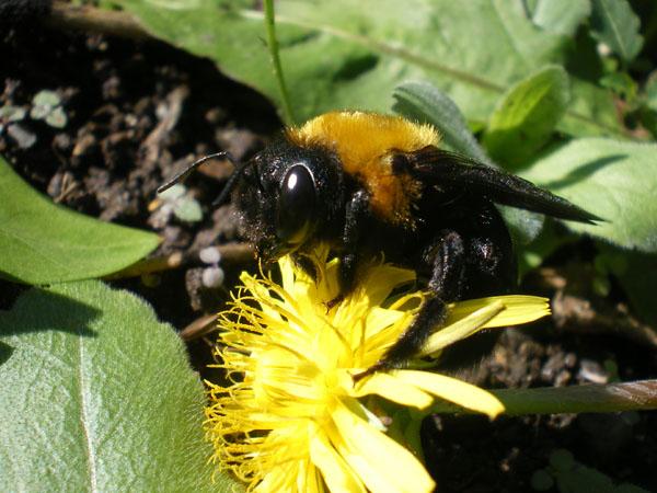 クマバチの画像 p1_23